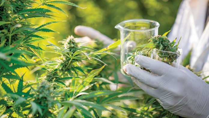 Cannabis The Question Healing Drug – from the South african Perspective